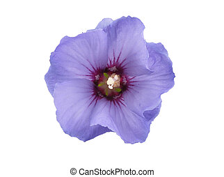 Lilac mallow on white background