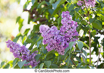 lilac nature