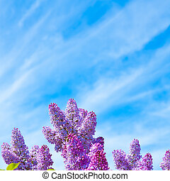 Lilac on a background of blue sky
