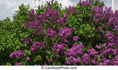 lilac on a background.