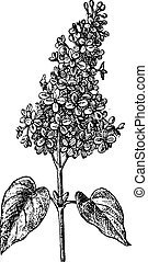 Lilac or Syringa sp., vintage engraved illustration. Dictionary of Words and Things - Larive and Fleury - 1895