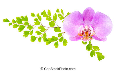 lilac orchid and green fern isolated on the white