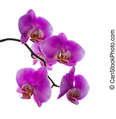 lilac orchid isolated on the white, background