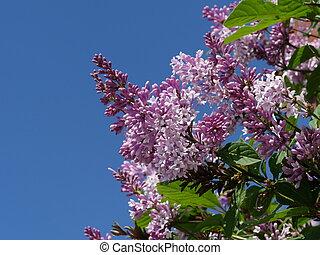 lilac ordinary flowers