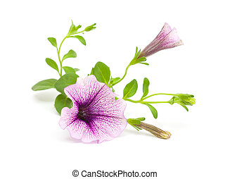 lilac petunia isolated on white