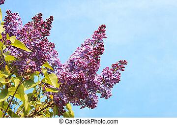 Lilac Photo on Blue Sky Background