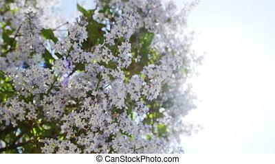 Lilac purple flowers tree natural seasonal spring floral