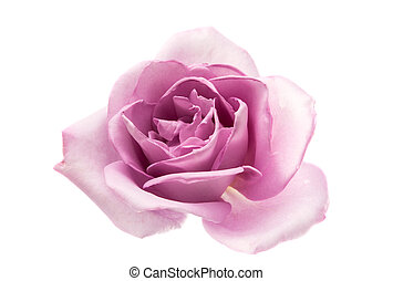 lilac rose isolated