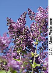 Lilac.