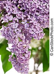 lilac struik, in, de, lente