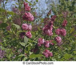 Lilac tree blooms symbol of spring.