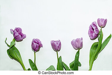 lilac tulips, flowers on a white background