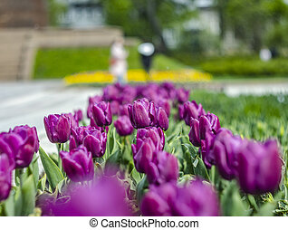 lilac tulips in the sun on a green blurred background