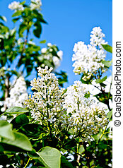 Lilac white with leaves