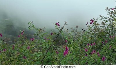 Lilac wildflowers growing in the mountains at cloud level. Nature of the island of Tenerife, Canary Islands, Spain