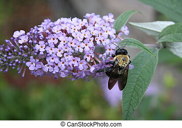 Lilac with Bumblebee 2