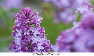 Close-up beautiful lilac flowers.