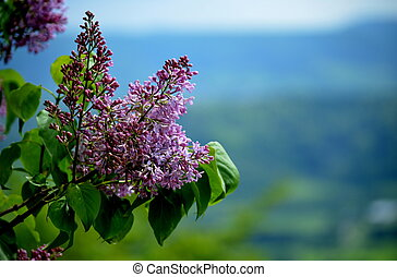 Lilac with landscape