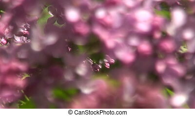 Syringa violet blooms on sunny day