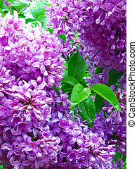 Lilacs in bloom; closeup