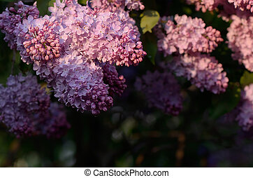 Lilacs in the sun