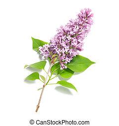 lilas, branche, violet
