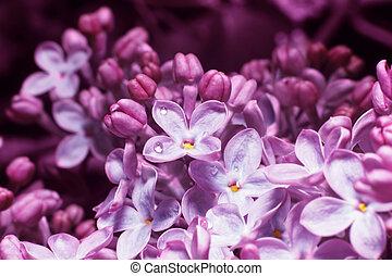 lilas, fond, barbouillage