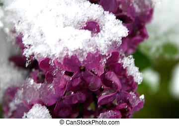 lilas, neige