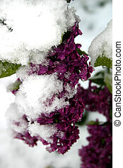 lilas, neigeux