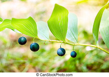 Liliaceae Juss, Polygonatum officinale All, in summer forest