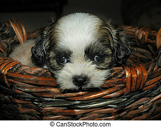Lilie in Basket - my Shih Tzu puppy Lilie 4 weeks old in a...