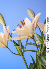 Lilies against a blue background.