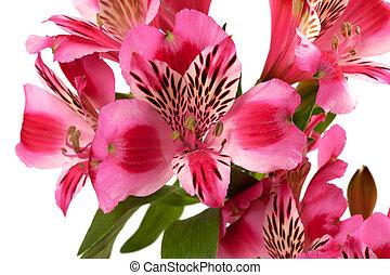 Lilies (alstroemeria) close-up view.