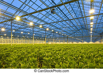 Lilies Horticulture - A glasshouse growing endless rows of...