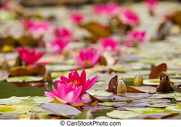 lilies in quiet waters of lake