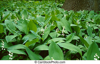 Lilies of the valley in a wood
