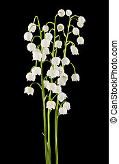 lilies of the valley isolated on a black background
