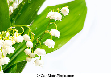 lilies of the valley on a white background isolated