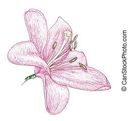 lilja, skiss, blomningen, målning