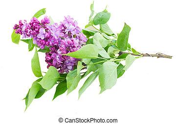 lilla, fiori
