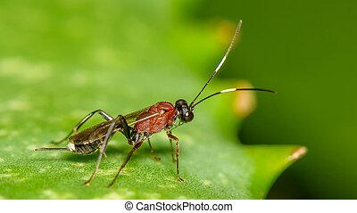 lille, hveps, parasitiske