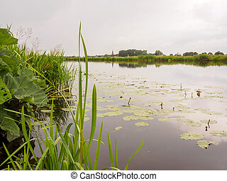 Lilles in a still river in Holland - Lillies in a still...