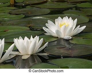 lillies eau, blanc