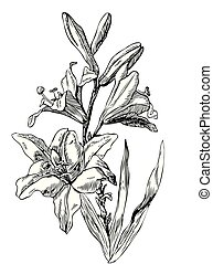 Hand drawn pen and ink Lily botanical illustration. Colors can be changed easily. Flowers are separate groups