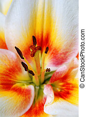 Beautiful lilly macro with focus on stamen and pistil