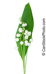 Lilly of the valley flowers isolated on whie background