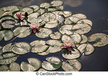 Lilly Pads in Sunny Pond