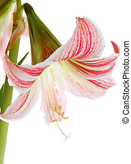 Lilly - Pink lilly, on isolated white background