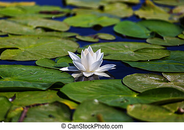 Lilly - White lilly in green summer pond