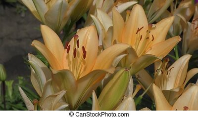 Lily apricot color blossoms in summer day